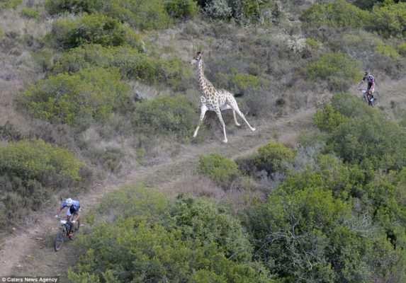 jirafa carrera ciclista