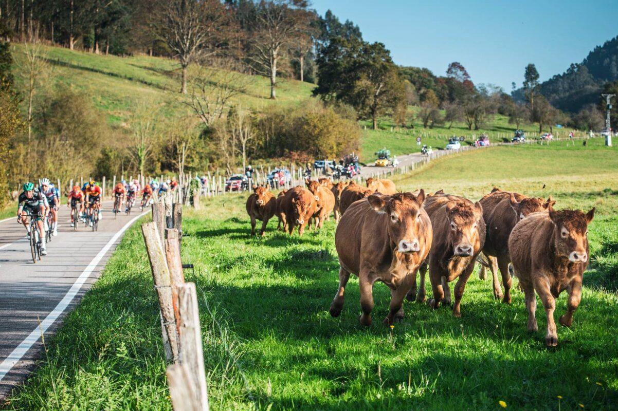 vacas carrera ciclista