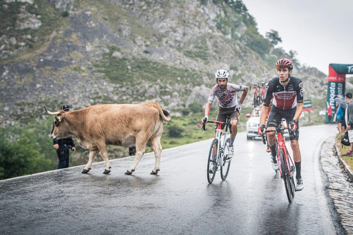 vacas ciclismo